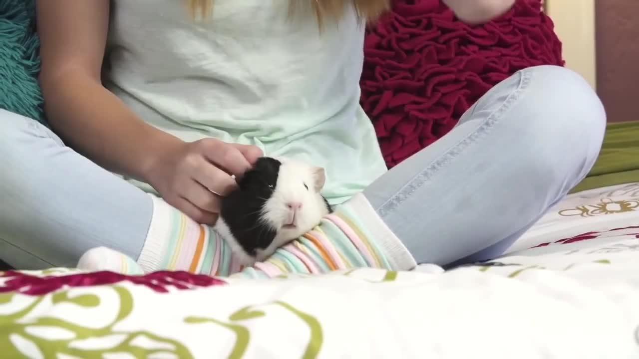 guinea pig video